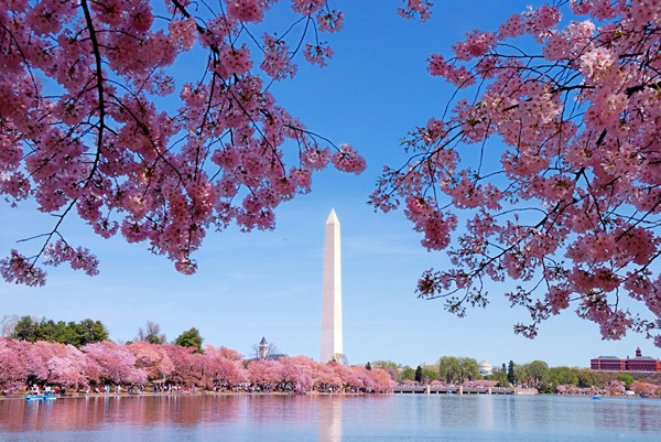 The Cherry Blossoms Of Washington, DC