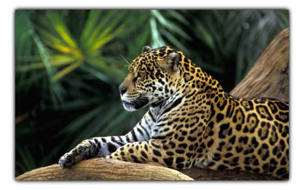 deforestation and jaguar conservation