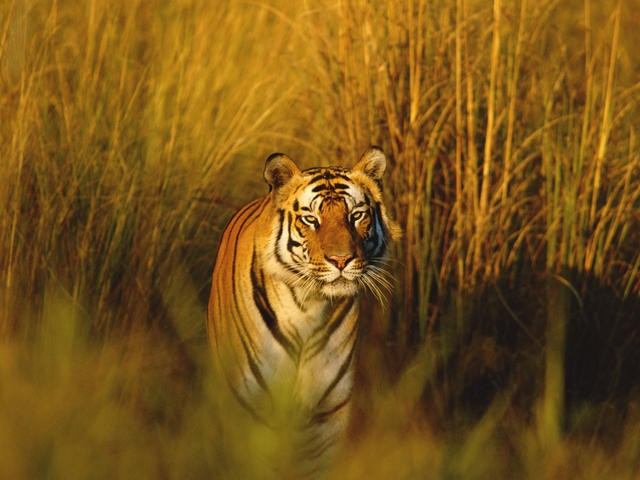 India tiger conservation