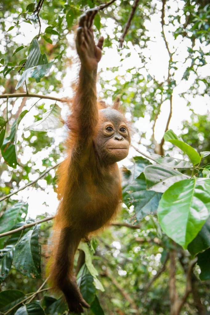 orphan orangutans and deforestation