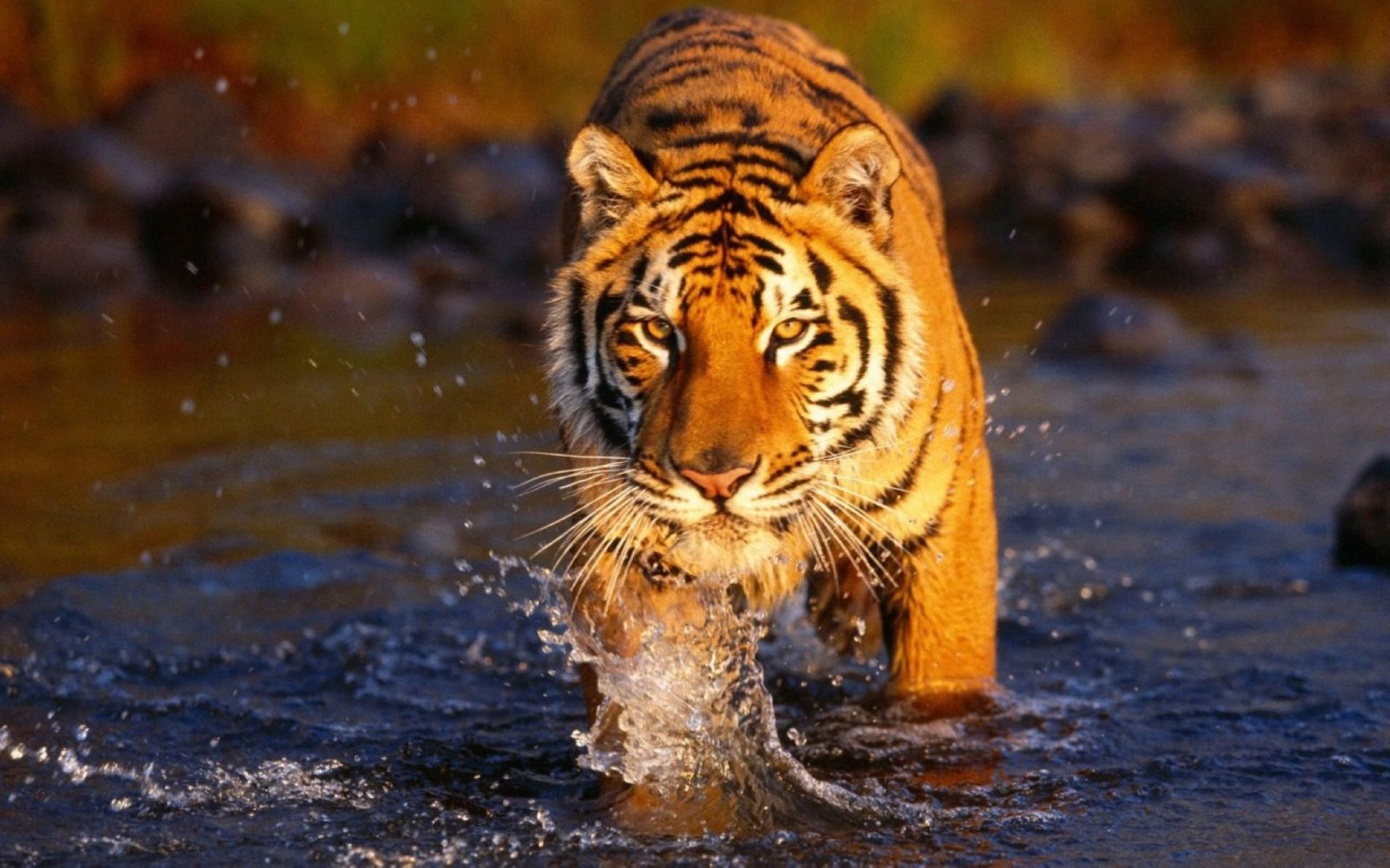 tiger conservation and forest conservation