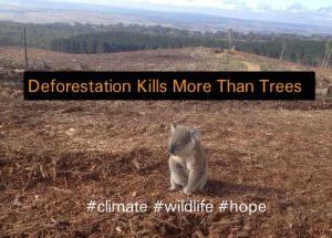 koalas deforestation