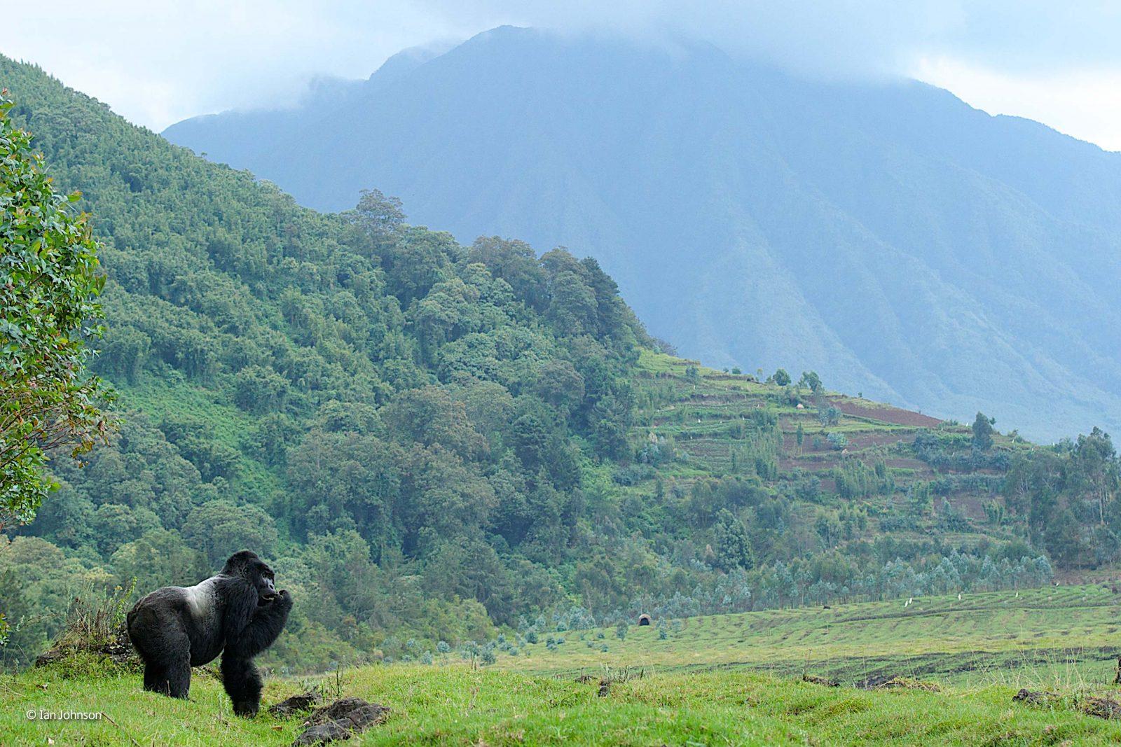 Mountain gorilla photography award