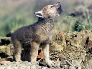Wolf conservation Tongass