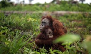 palm oil kills orangutans