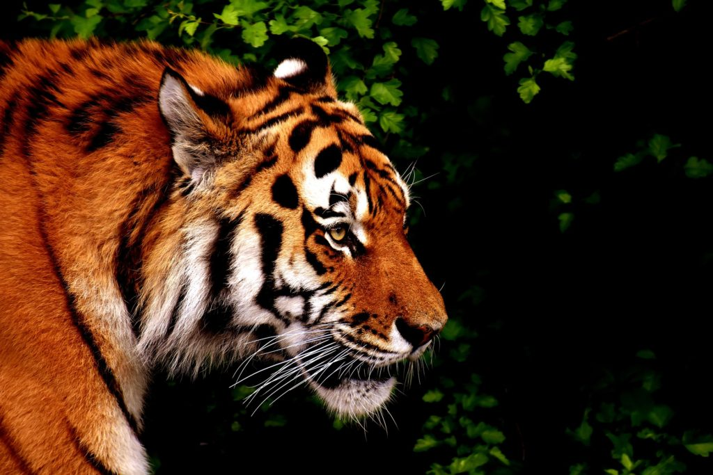 tiger conservation and habitat conservation